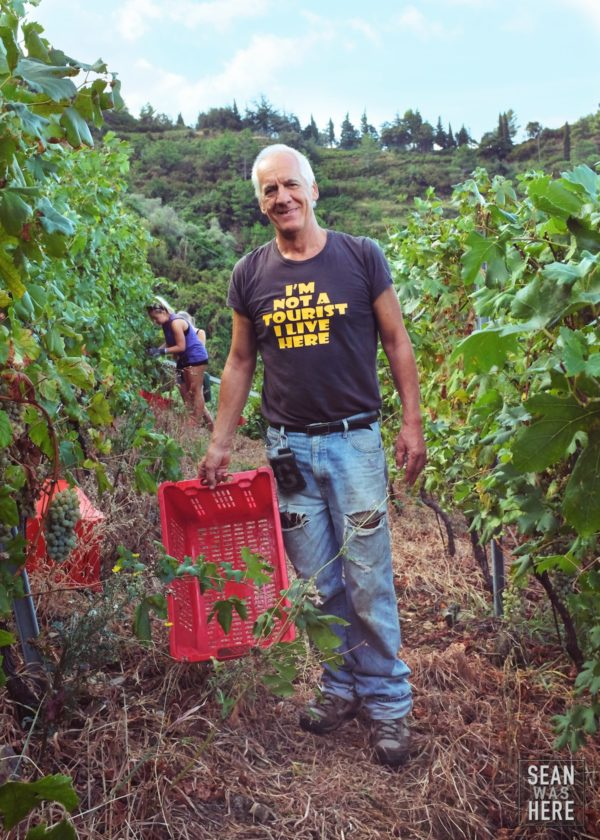 Harvesting Grapes. Vernazza, Cinque Terre